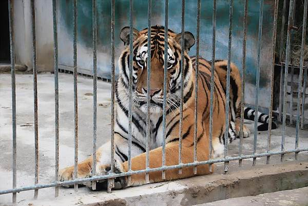 Tiger_DCE